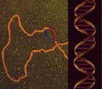 ADN dans la synthèse des protéines